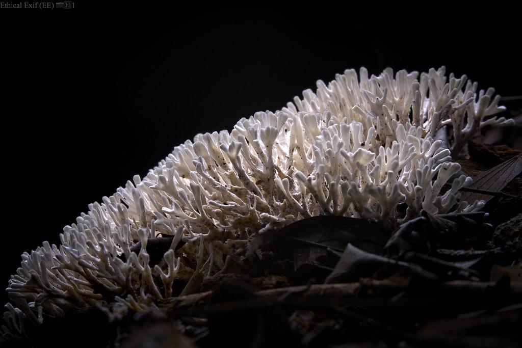 White coralloid fungus