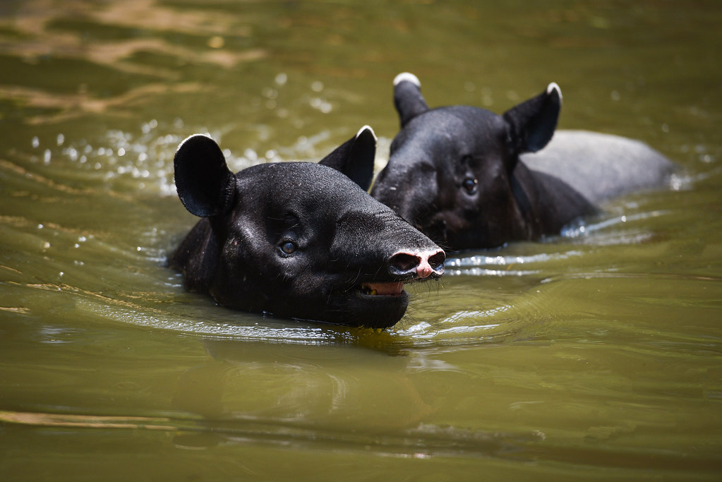 tapir swimming on the water in the wildlife sanctuary / Tapirus terrestris or Malayan Tapirus Indicus