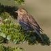 IMG_7758 cassins finch, female