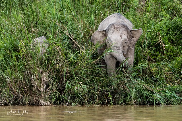 Highly Endangered Pygmy Elephant