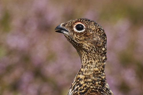 Red Grouse Portrait (Lagopus lagopus scotica)