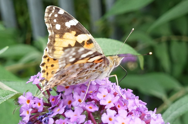 Painted Lady butterfly on Summer lilac