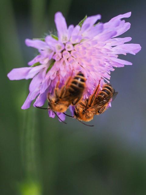 Mauerbiene (?) auf Witwenblume