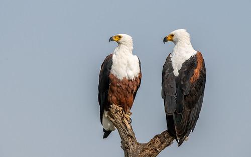 African fish eagle - Haliaeetus vocifer - Afrikaanse zeearend