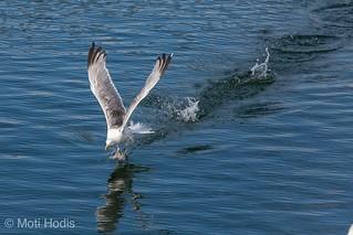 Seagull walking on water during take off