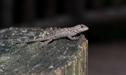 Friendly Fence Lizard