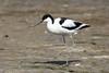 Pied Avocet (Recurvirostra avosetta) #2