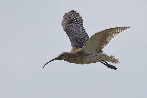 European Curlew (Numenius arquata)