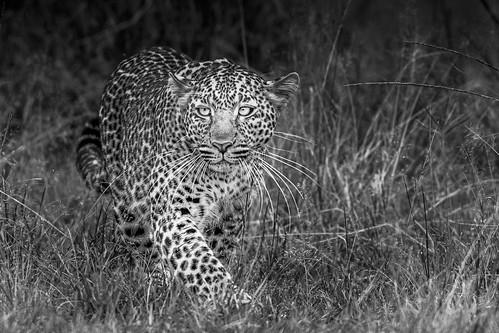 léopard bw xx-2297