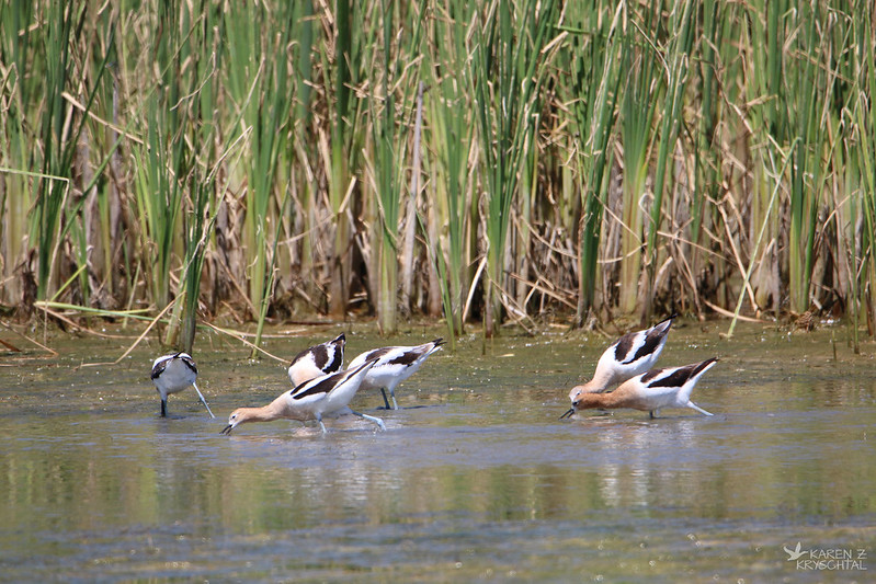 IMG_1014AmericanAvocets
