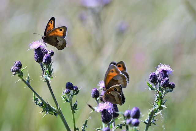 Butterflies and thistles.