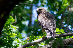 red shouldered hawk 6474