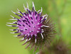 Lesser Burdock (Arctium minus)
