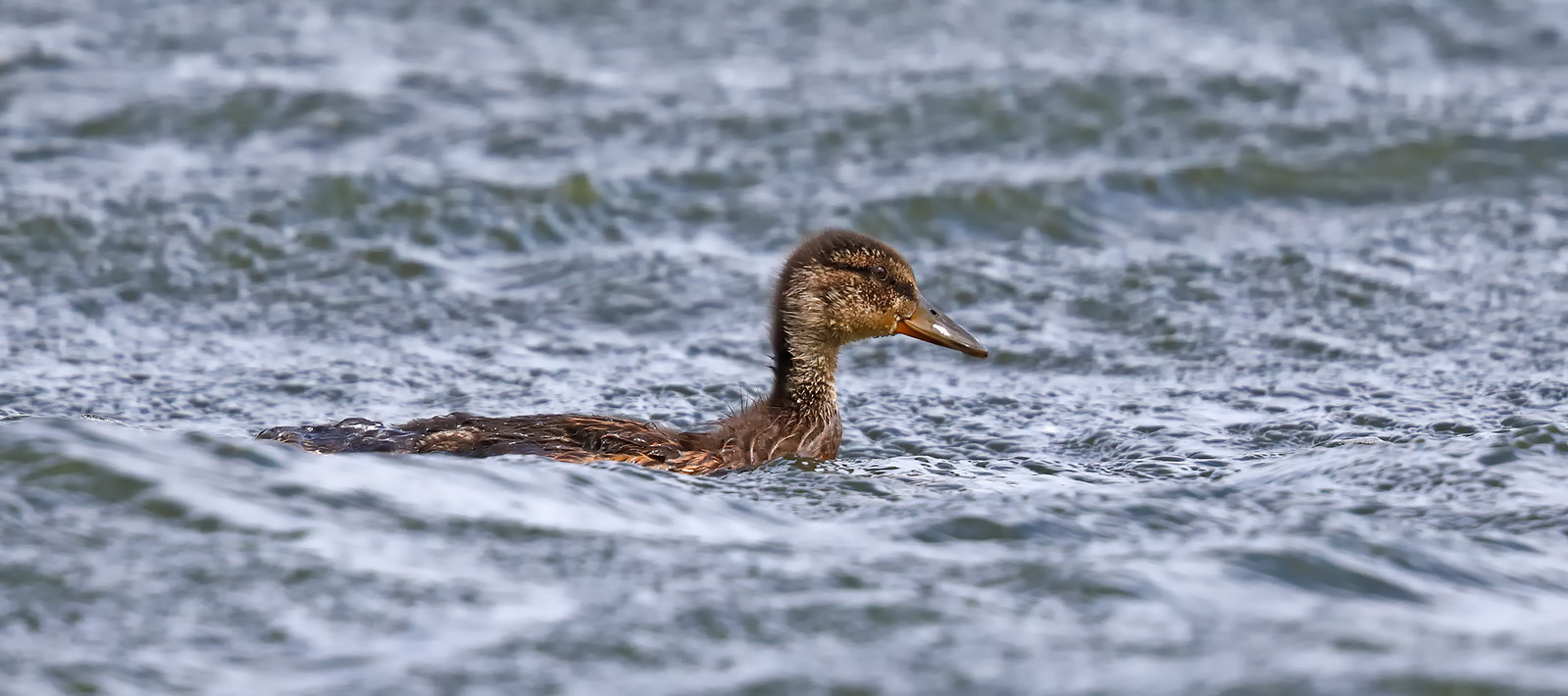 Mallard weathering the waves