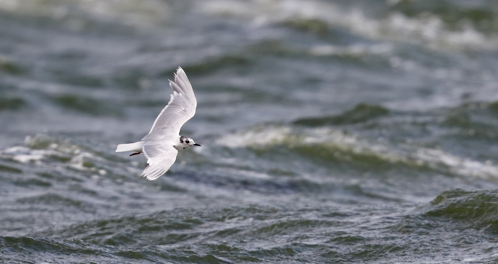 Little Gull [ wet, windy and worn]
