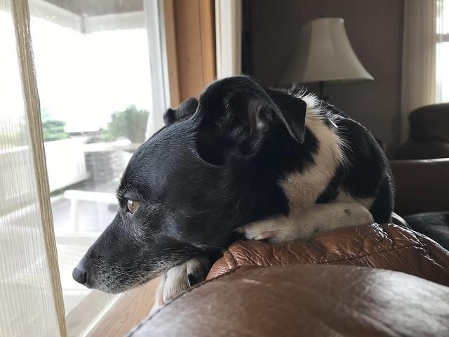 Petey Lamenting the Rain