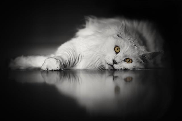 White Beauty 🐈