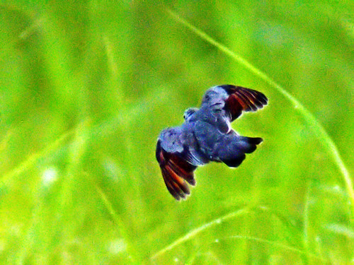 Common Ground-Dove in flight 03-20130531