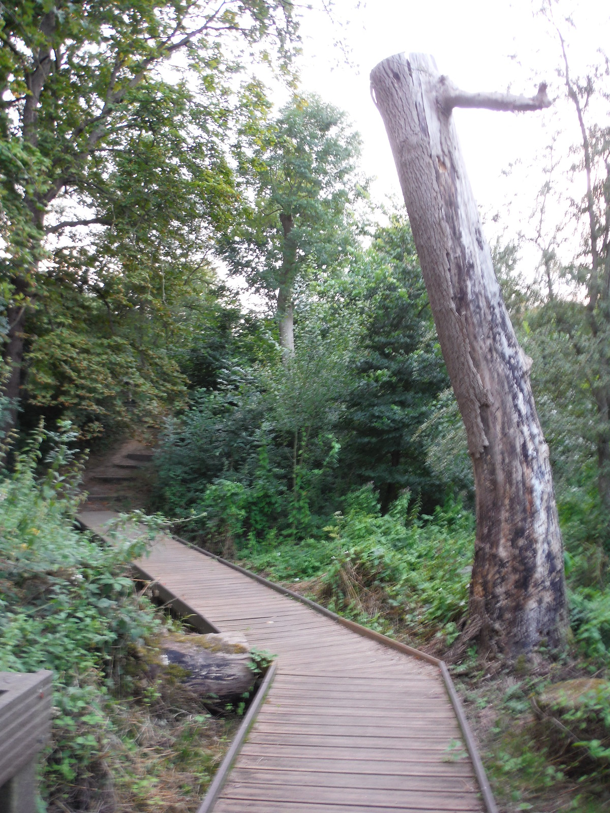 Boardwalk in Long Wood Local Nature Reserve SWC Short Walk 22 - Boston Manor to Osterley