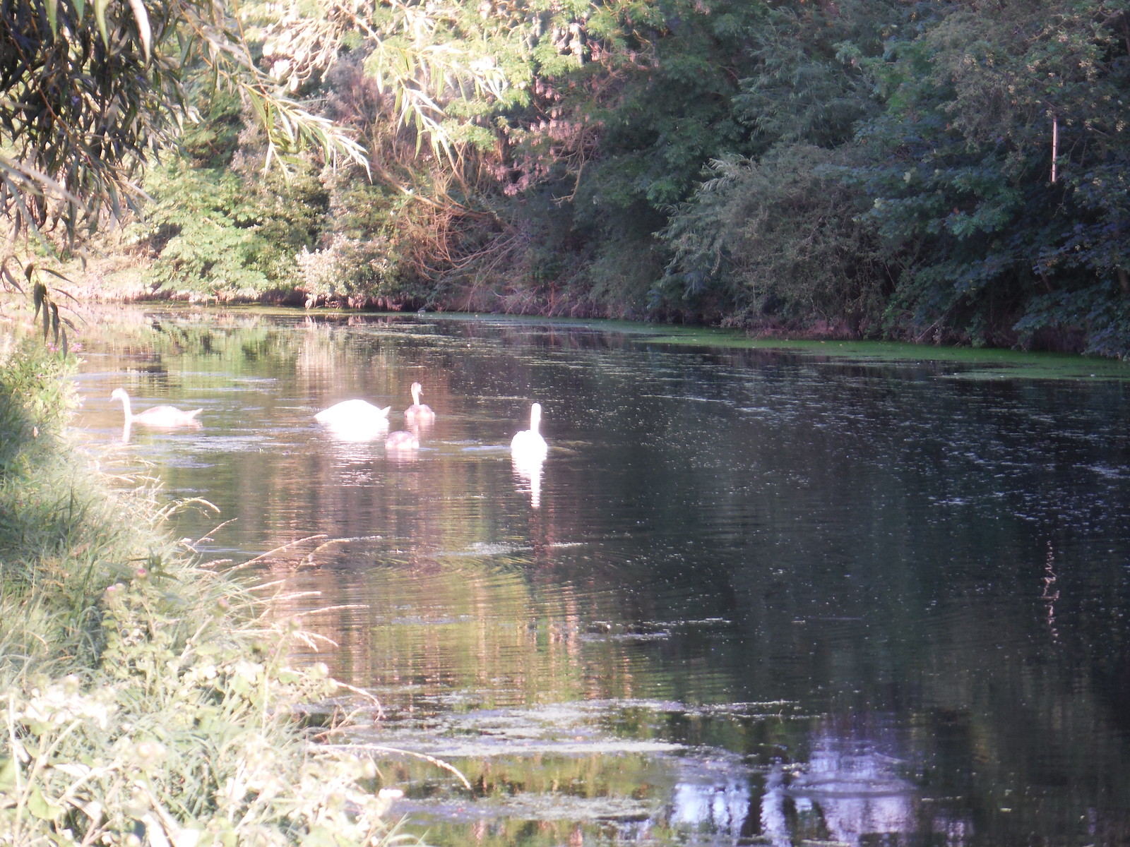 Swans and Cygnets on River Brent/Grand Union Canal SWC Short Walk 22 - Boston Manor to Osterley