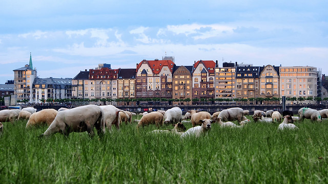 Sheep and the City