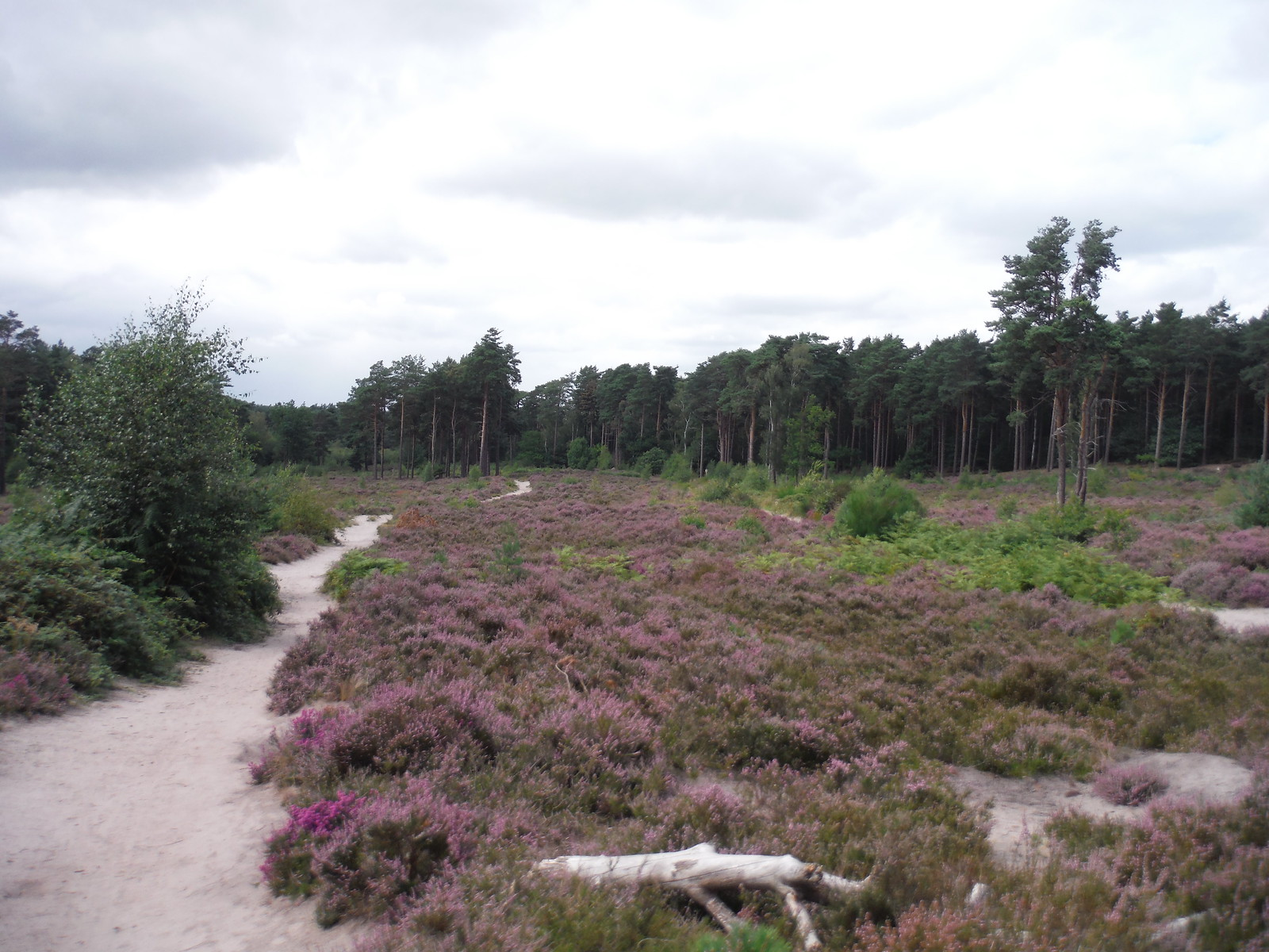 Esher Common SWC Short Walk 17 - Oxshott Heath, Esher and West End Commons