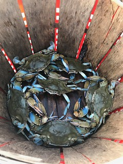 Photo of blue crabs in basket