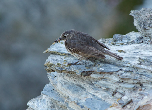 Rock Pipit on a cliff