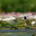 水雉 Pheasant-tailed Jacana