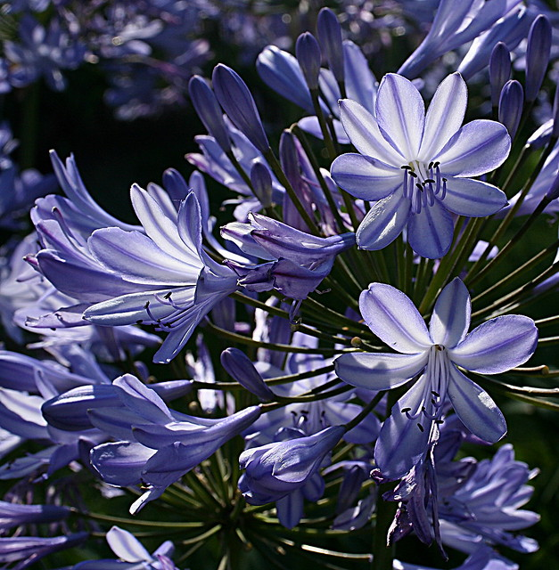 African Lily 'Tinkerbell'