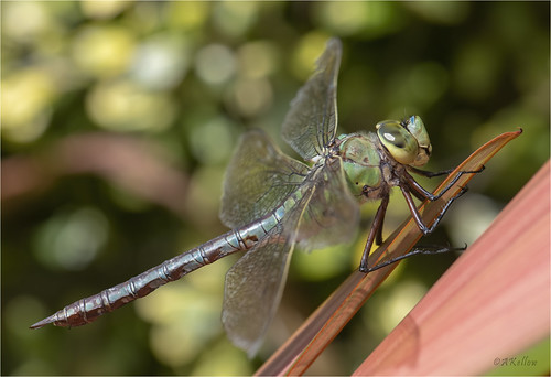 Dragonfly at Pinetum Garardens
