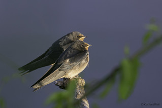Young Barn Swallows waiting for mum