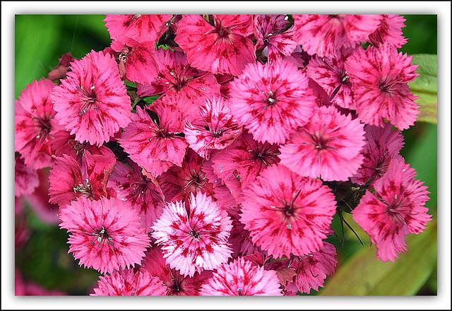 Sweet Williams ( Pink / Dianthus Barbatus)