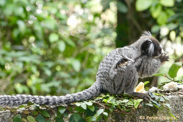 Monkey visiting my yard for food, Jandira, São Paulo, Brazil