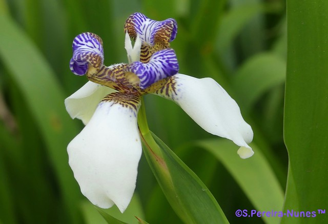 Iris of the Apostles, Íris-dos-Apóstolos,  Forest Hills, Brazil