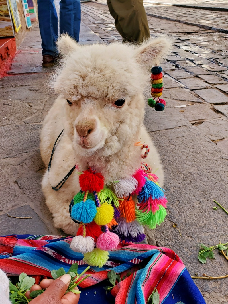 alpaca in Cusco