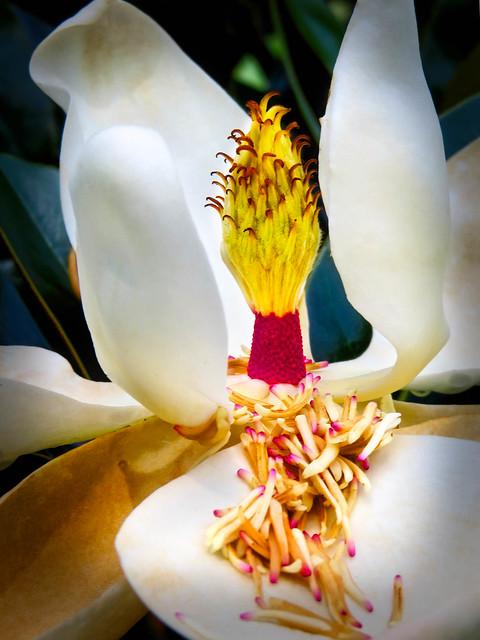Magnolia Disrobed