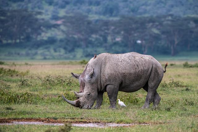 Southern white rhino - Ceratotherium simum simum - Zuidelijke witte neushoorn