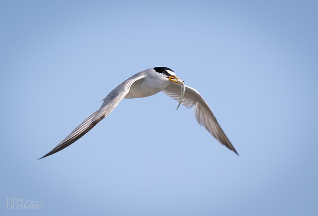 Breeding Least Tern (Sternula antillarum)