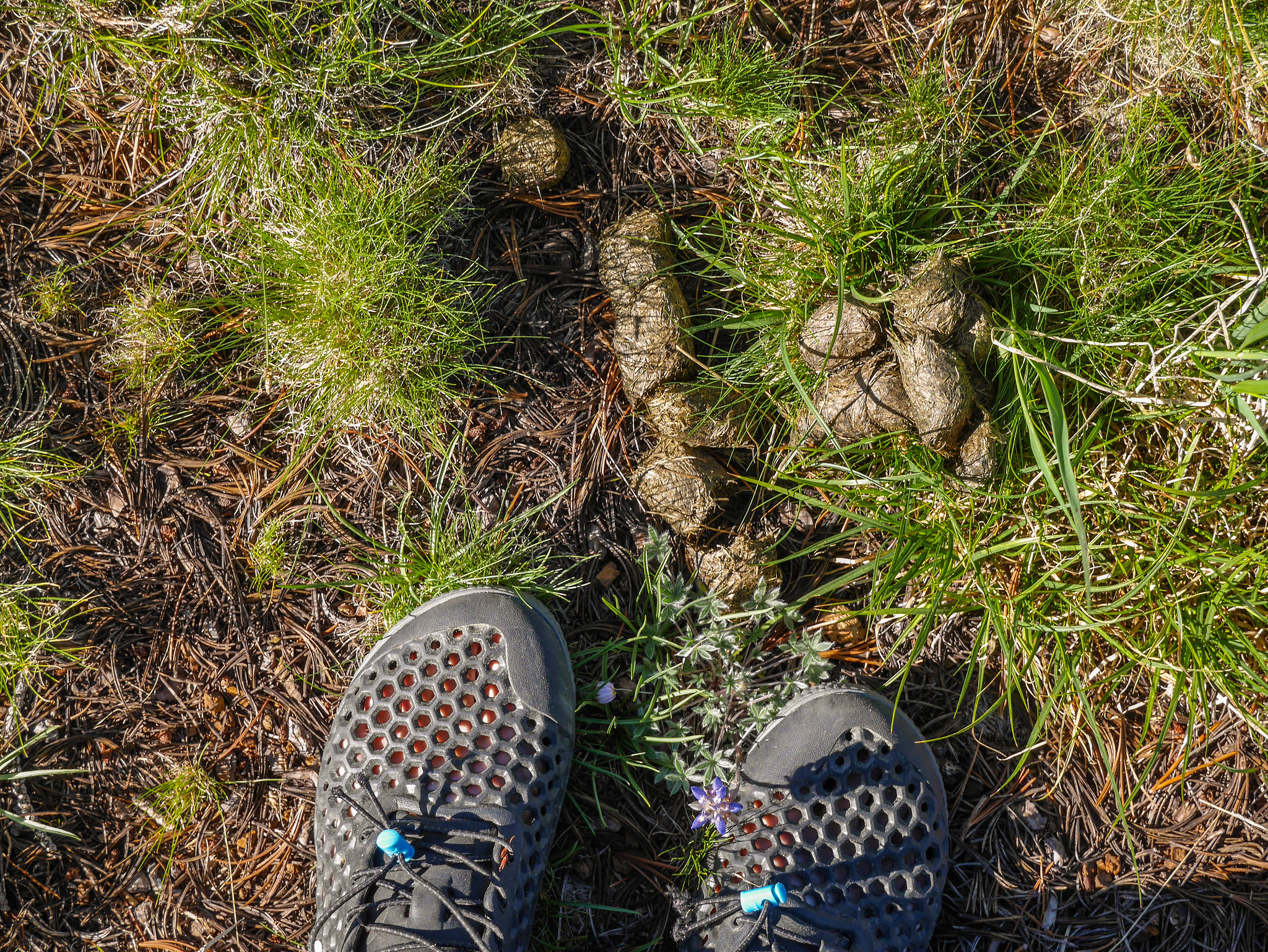 Is it mountain lion poop? It was LARGE, too big for coyote.