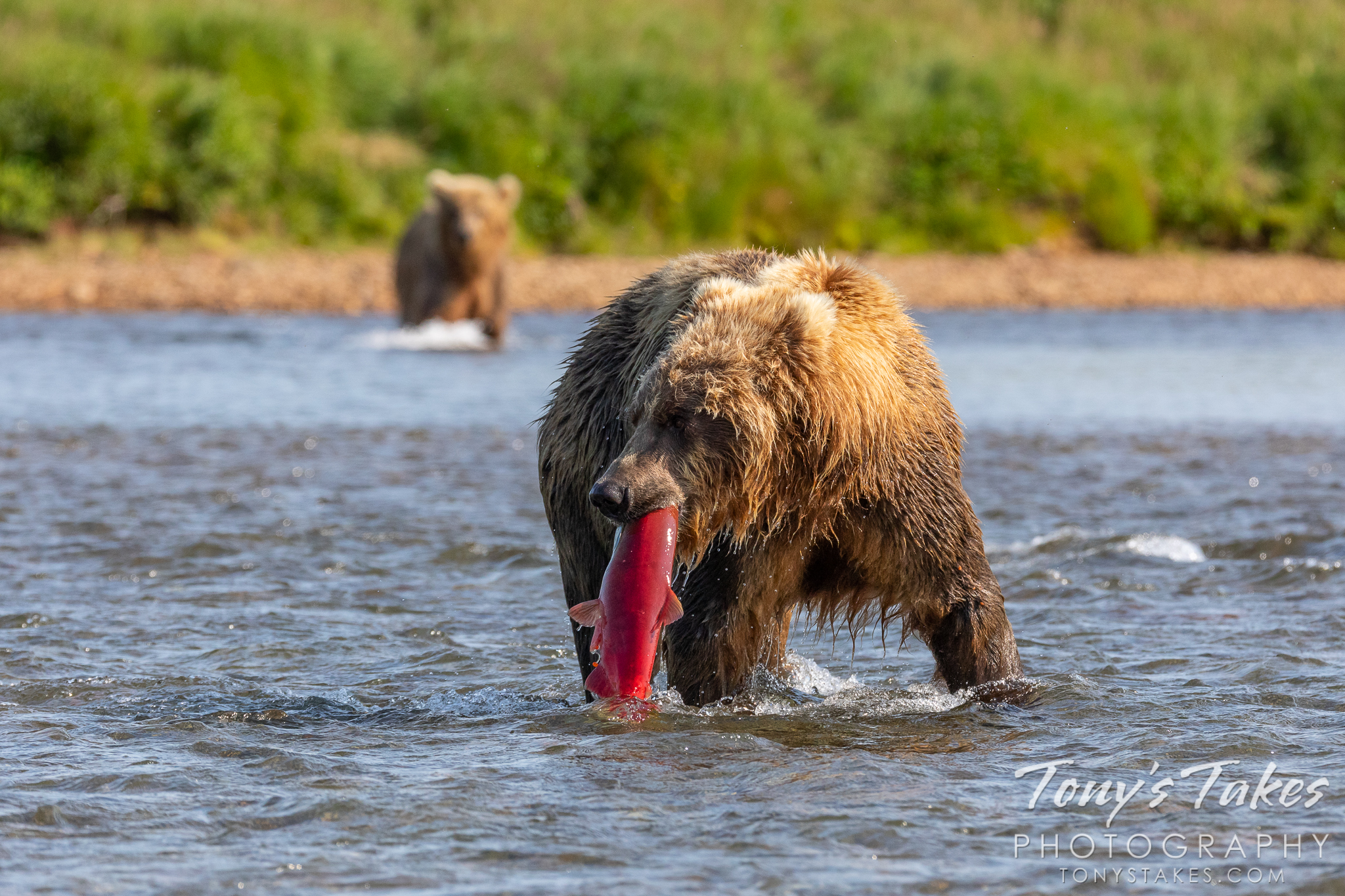 An Alaskan brown bear pulls a salmon from the river in Katmai National Park and Preserve. (© Tony's Takes)