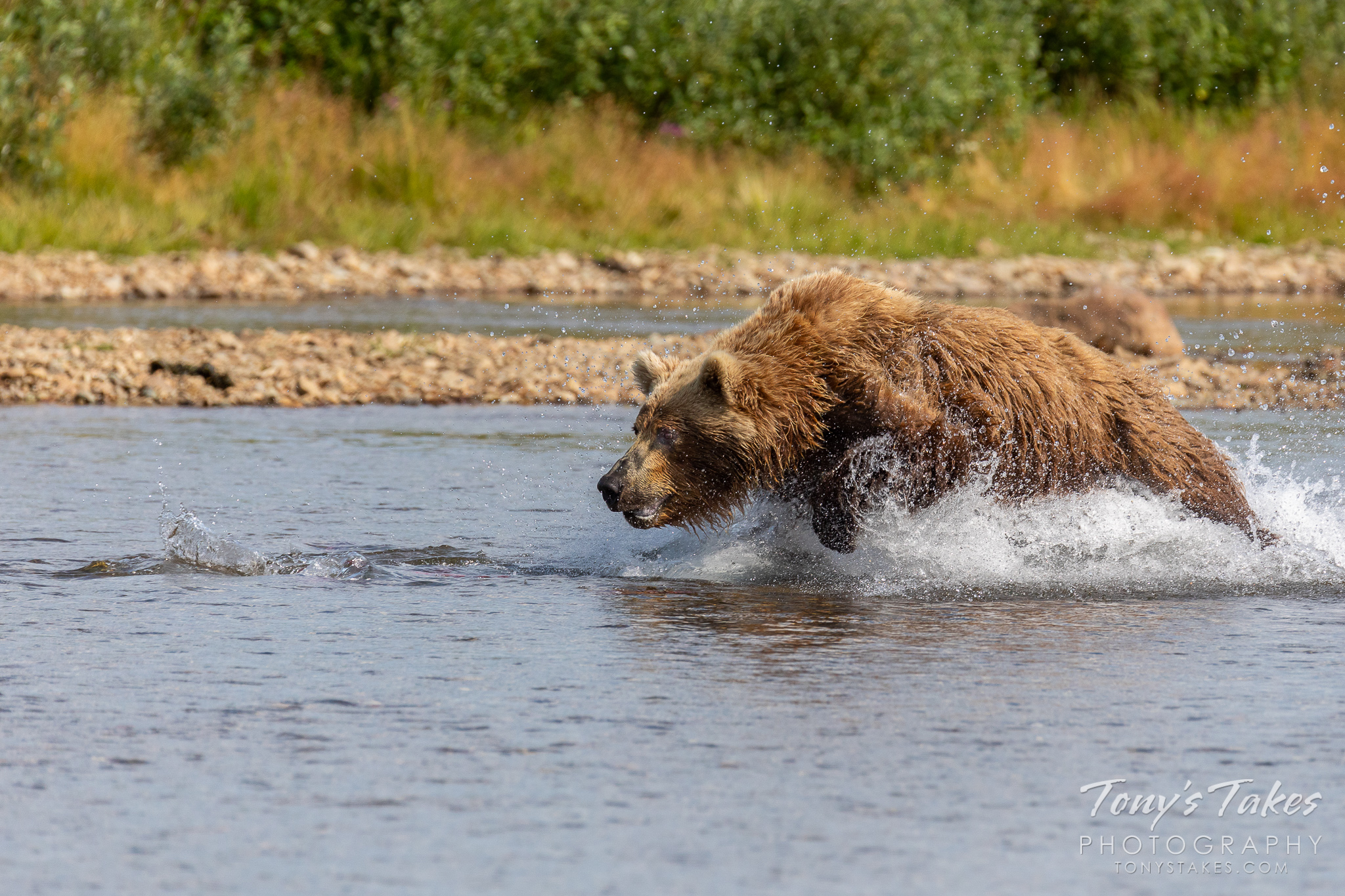 A brown bear charges after salmon in Katmai National Park and Preserve, Alaska. (© Tony's Takes)