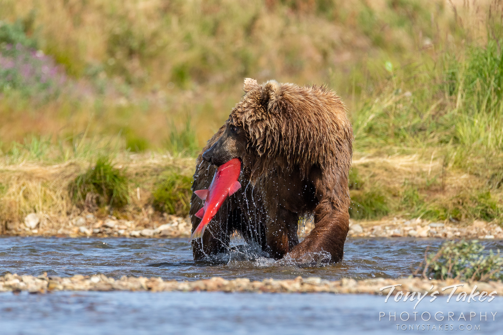 A brown bear checks its surroundings before eating a salmon. (© Tony's Takes)
