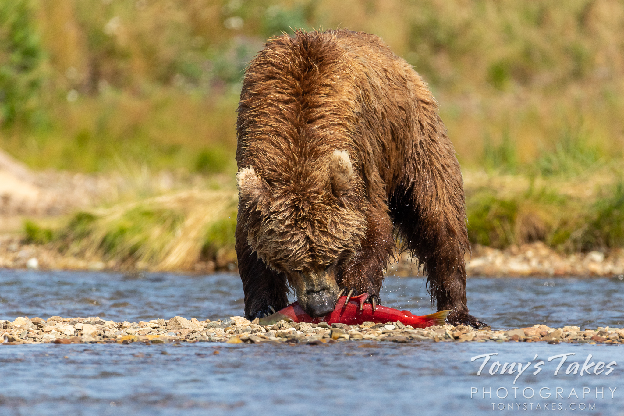 A coastal brown bear tears into a salmon it caught. (© Tony's Takes)