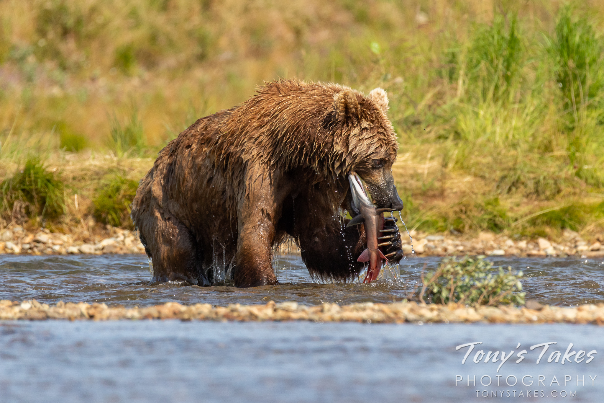 A brown bear gets a grip on a sockeye salmon it caught. (© Tony's Takes)