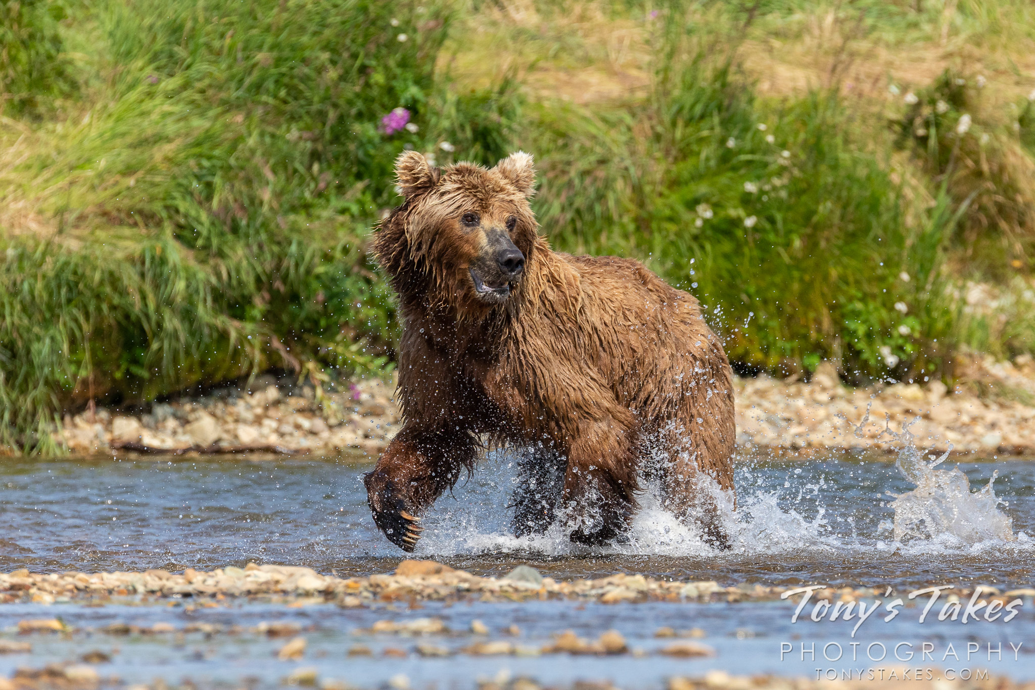 Brown bear splashes along hunting for a meal