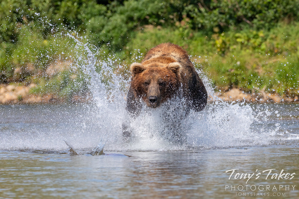 Brown bear stays focused on the fish