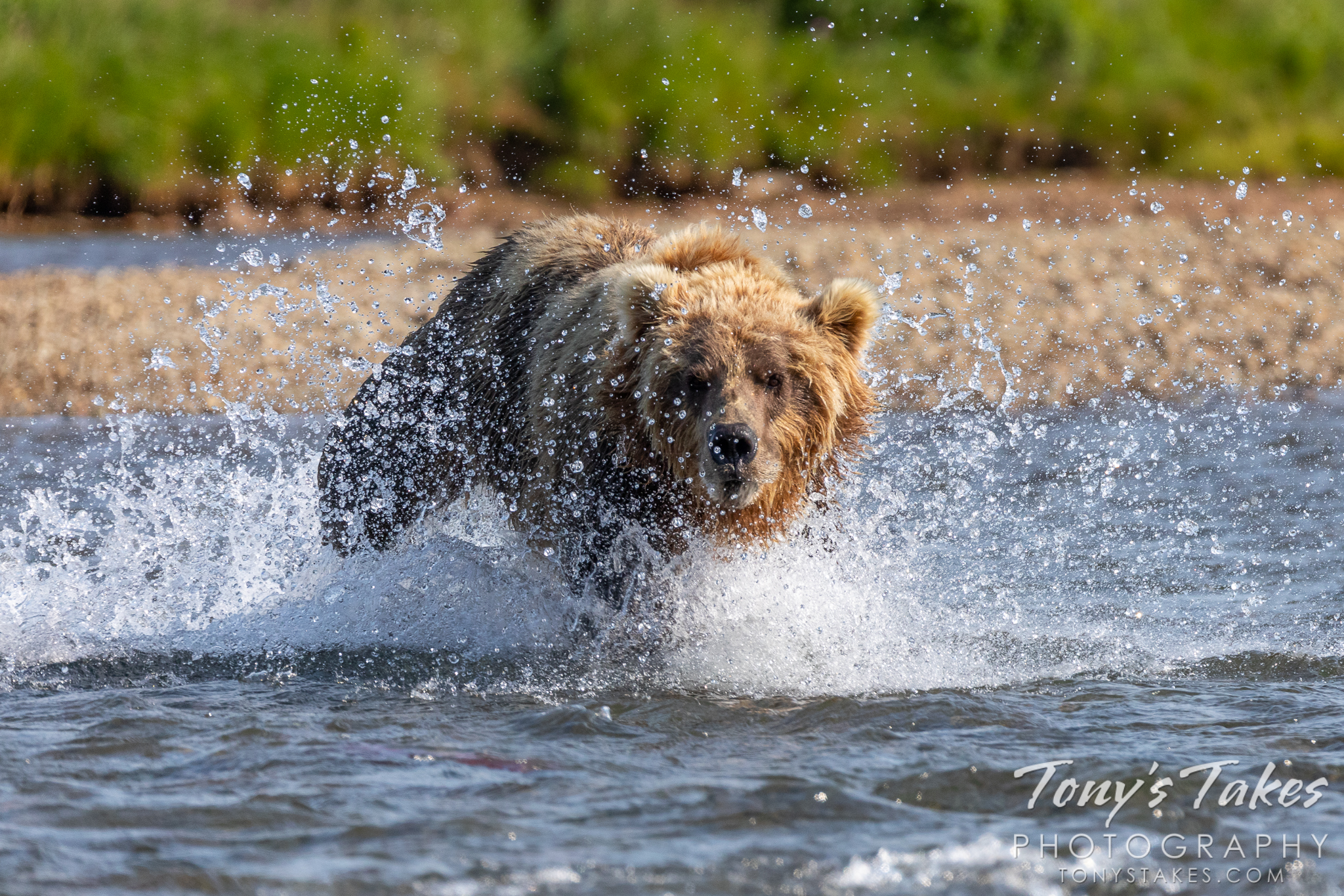 A brown bear charges through a river toward salmon. (© Tony's Takes)