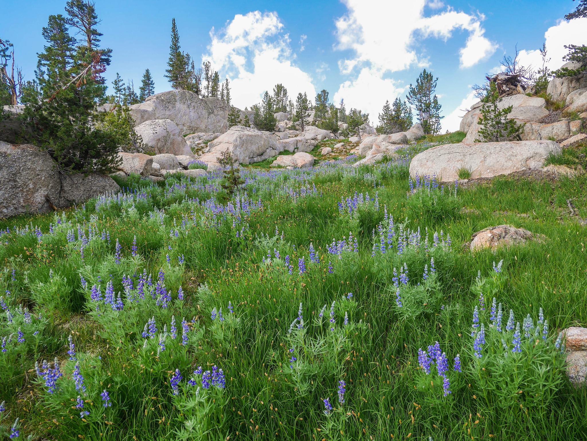 Beautiful lupine blooms above Tuolumne Pass