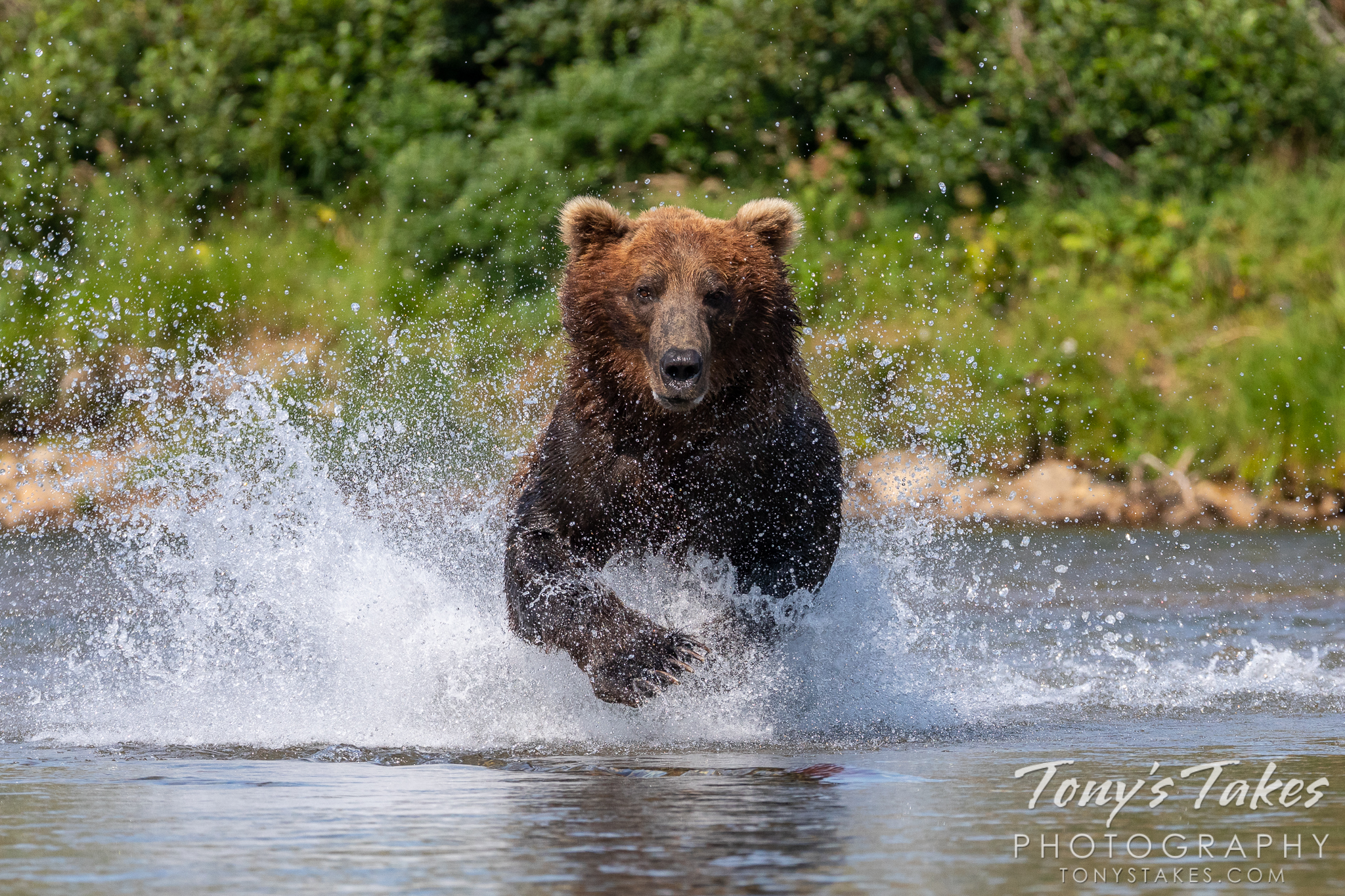 Brown bear charges after a meal